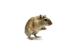 Brown gerbil Royalty Free Stock Photo