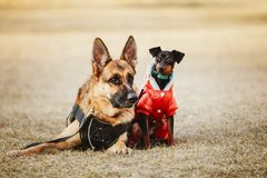 Brown German Sheepdog And Black Miniature Pinscher Stock Images