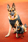 Brown German Sheepdog And Black Miniature Pinscher Royalty Free Stock Images