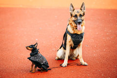 Brown German Sheepdog And Black Miniature Pinscher Royalty Free Stock Photography