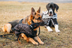 Brown German Sheepdog And Black Miniature Pinscher Royalty Free Stock Photo