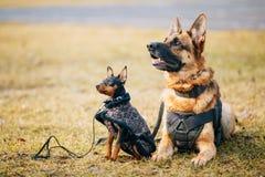 Brown German Sheepdog And Black Miniature Pinscher Stock Photos