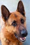 Brown German Shepherd Dog Royalty Free Stock Photo
