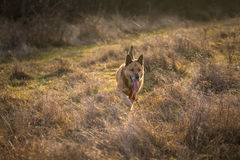Brown german shepherd dog running on field. Photo of a brown german shepherd dog running on field, in a warm and beautiful winter afternoon, with a beautiful Stock Photography