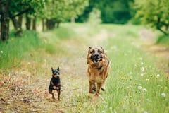 Brown German Shepherd And Miniature Pinscher Stock Images