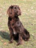 Brown German Spaniel dog stock photos