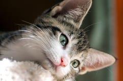 Brown-getigerte Katze mit weißem Chin Hangs Head Over Edge Stockbild