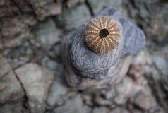 Brown gholden al erizo de mar apilado en rocas Imágenes de archivo libres de regalías