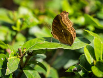 Brown giant butterfly on the green leaf. An insect world of nature Stock Image
