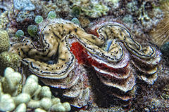 Brown giant clam close up portrait. Tridacna brown giant clam close up portrait detail Stock Photo