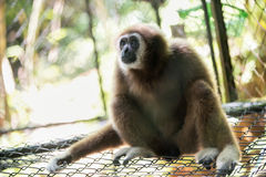 Brown gibbon Royalty Free Stock Image