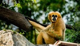 Brown-Gibbon, der auf dem Felsen sitzt Lizenzfreie Stockfotos