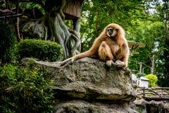 Brown-Gibbon, der auf dem Felsen sitzt Lizenzfreies Stockbild