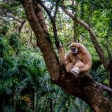 Brown-Gibbon, der auf dem Felsen sitzt Lizenzfreies Stockfoto