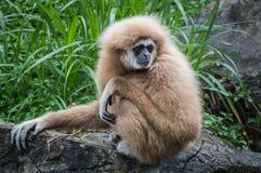 Brown Gibbon, der auf Felsen sitzt und nach etwas sucht Lizenzfreie Stockfotos