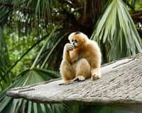 Brown Gibbon eating stock images