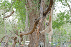 Brown gibbon hanging on tree. Royalty Free Stock Photos