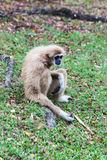 Brown gibbon sitting on ground Royalty Free Stock Photos