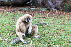 Brown gibbon sitting on ground Stock Image