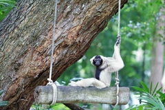 Brown gibbon sitting on swing Royalty Free Stock Photo