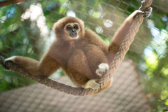 Brown gibbon Stock Images