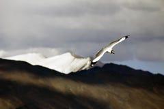 Brown ging Gul Flugwesen über den Bergen voran Stockbild