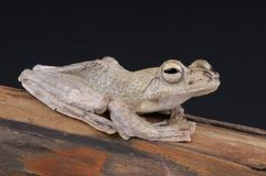 Brown gliding tree frog Royalty Free Stock Photography