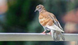 Brown gołębia pozycja na tarasie Obraz Stock