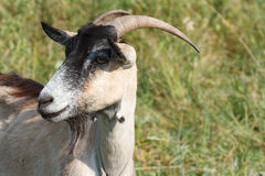 Brown goat Royalty Free Stock Photo