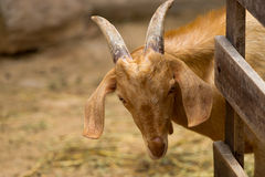 Brown Goat Stock Photography