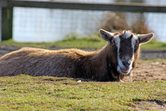 Brown goat Stock Images