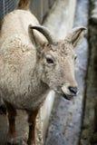 Brown goat Stock Photos
