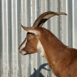 Brown goat with big horns Royalty Free Stock Photo