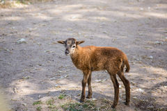 Brown goat bleat standing on the ground. Brown goat standing on the ground eating stock photo