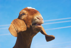 Brown goat bleating on blue sky Royalty Free Stock Photos