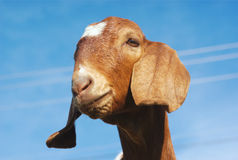 Brown goat on blue sky Royalty Free Stock Image
