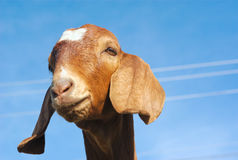 Brown goat on blue sky Royalty Free Stock Images