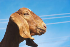 Brown goat on blue sky Stock Image