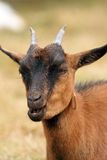 Brown goat chewing Stock Photos