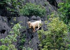 Brown goat climbing on mountain Royalty Free Stock Image
