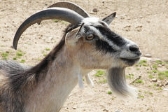 Brown goat close up portrait Royalty Free Stock Photos