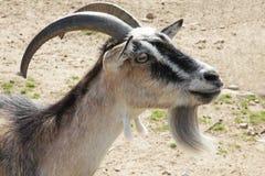 Brown goat close up portrait Stock Images
