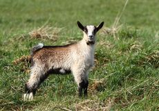 Brown goat Royalty Free Stock Photos