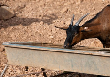 A brown goat drinking water Royalty Free Stock Photography