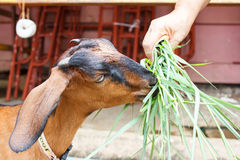 Brown goat eating grass. Brown side of goat eating green grass Royalty Free Stock Photo