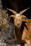 Brown goat in farm. agriculture concept Royalty Free Stock Images