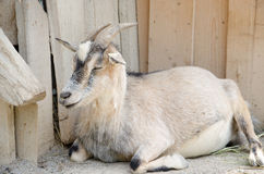 Brown goat in a farm Stock Image