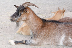 Brown goat in a farm Royalty Free Stock Photography