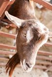 Brown goat in farm stable head. Closeup view royalty free stock photos