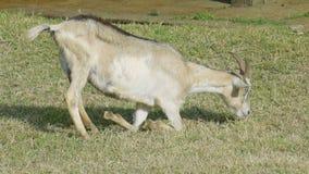 Brown goat feeding on green grass stock video